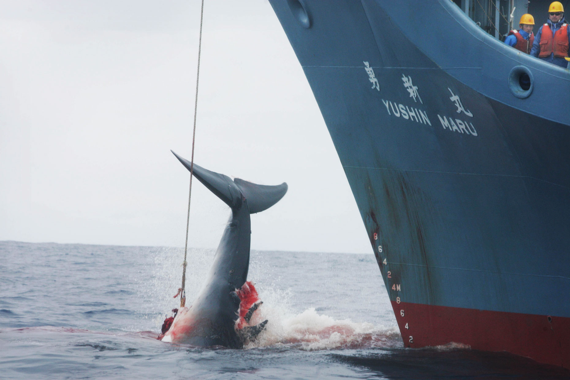 Whale and Japanese whaling ship, by Scotland Greenpeace photographer