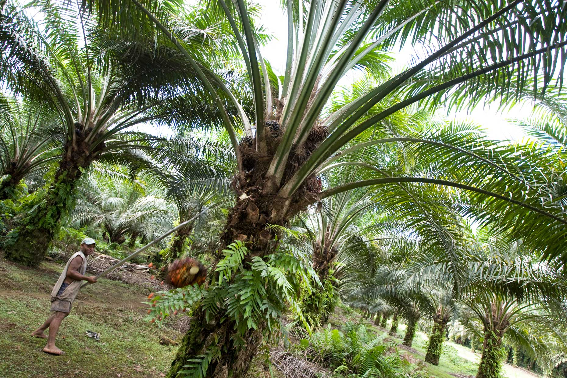 palm oil plantation in PNG, by Scotland Greenpeace photographer